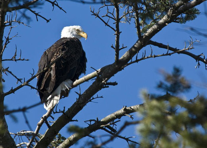 Chad Davis Greeting Card featuring the photograph American Bald Eagle by Chad Davis