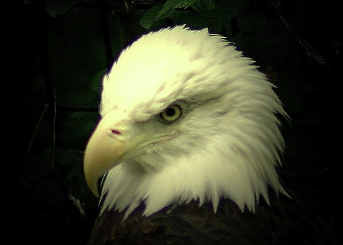 Eagles Greeting Card featuring the photograph American Bald Eagle by Vincent Duis