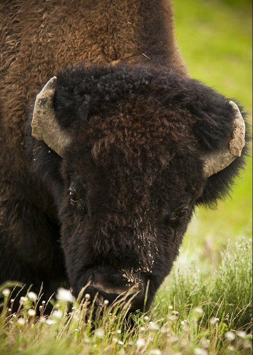 Bison Greeting Card featuring the photograph American Bison by Chad Davis