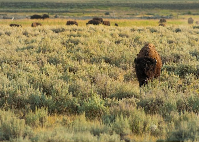 American Bison Greeting Card featuring the photograph American Bison by Sebastian Musial