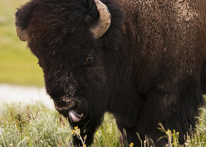 Bison Greeting Card featuring the photograph American Bison Tongue by Chad Davis