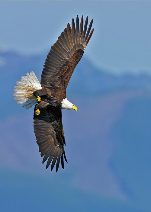 American Greeting Card featuring the photograph American Blad Eagle On The Wing by Gary Langley