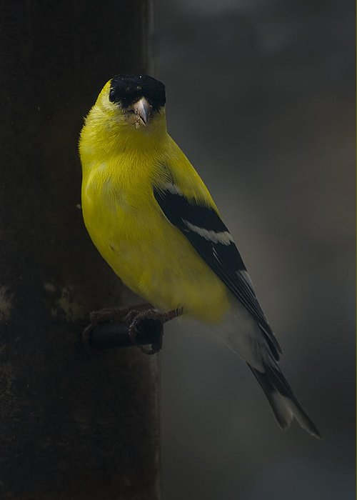 American Goldfinch Greeting Card featuring the photograph American Goldfinch by David Hook