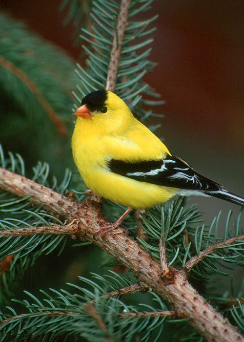 Bird Greeting Card featuring the photograph American Goldfinch by Raju Alagawadi
