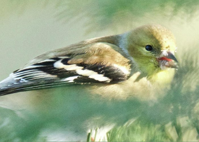 American Greeting Card featuring the photograph American Goldfinch Winter by Michael Peychich