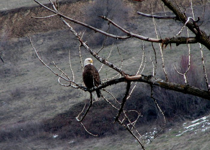 Bald Eagle Greeting Card featuring the photograph american idol II by Athena Ellis