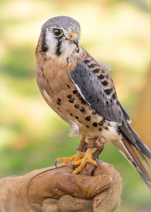 American Kestrel Greeting Card for Sale by Jim Hughes