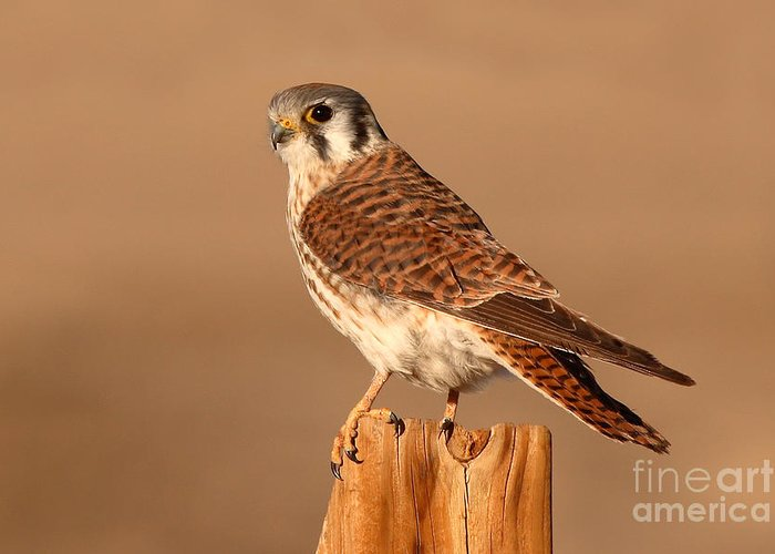 Kestrel Greeting Card featuring the photograph American Kestrel Surveying The Surroundings by Max Allen