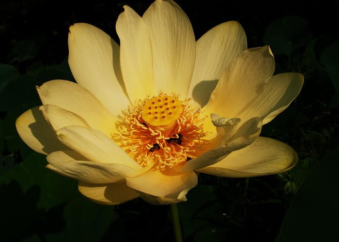 Wildflowers Greeting Card featuring the photograph American Lotus by Ron Kruger