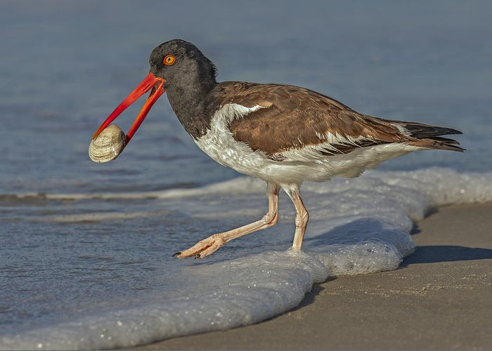 American Oystercatcher Greeting Card featuring the photograph American Oystercatcher Grabs Breakfast by Susan Candelario