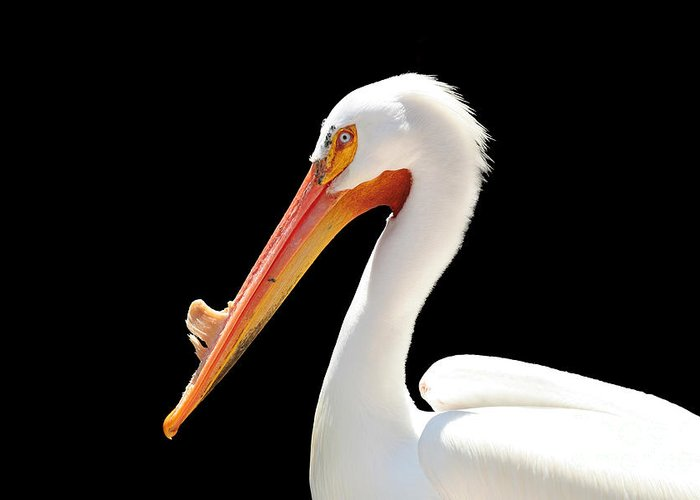 American White Pelican Greeting Card featuring the photograph American Pelican by Jeannie Burleson