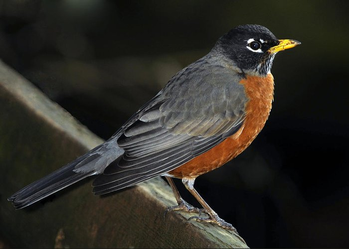 Thrush Greeting Card featuring the photograph American Robin by Laura Mountainspring