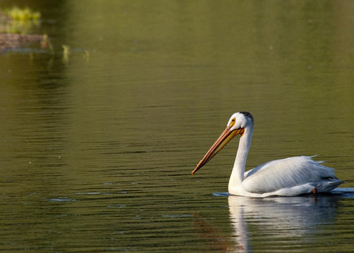 Pelican Greeting Card featuring the photograph American White Pelican by Chad Davis
