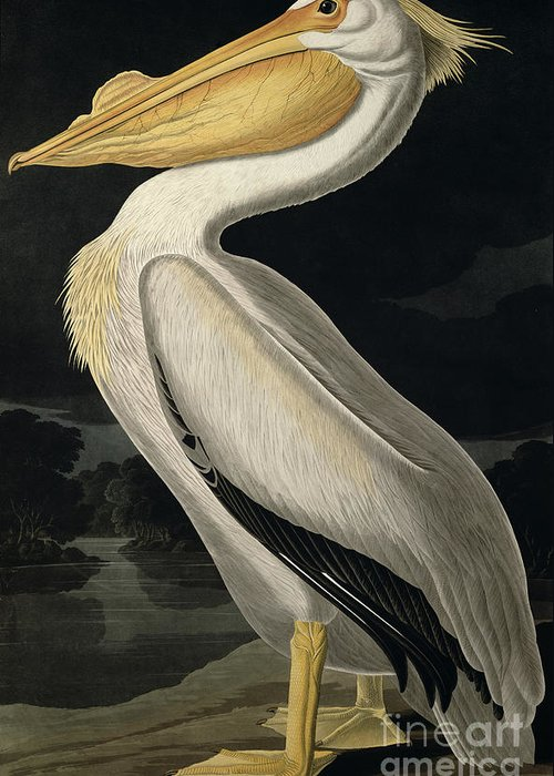 Designs Similar to American White Pelican