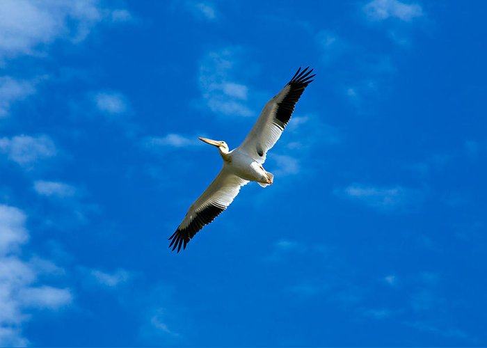 American Greeting Card featuring the photograph American White Pelican by Marilyn Hunt