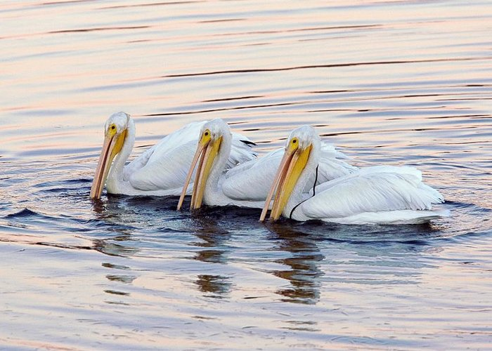 American White Pelicans Greeting Card featuring the photograph American White Pelicans by Bob Gibbons