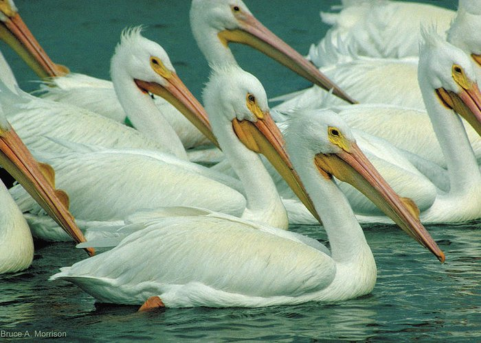 White Pelicans Greeting Card featuring the photograph American White Pelicans by Bruce Morrison