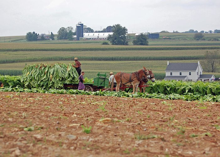 Amish Greeting Card featuring the photograph Amish Farm Harvest by Joyce Huhra