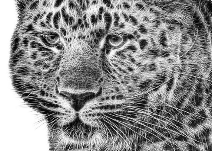 Snowleopard Greeting Card featuring the photograph Amur Leopard by John Edwards