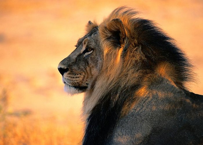 Color Image Greeting Card featuring the photograph An Adult Male African Lion, Panthera by Nicole Duplaix