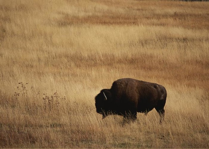 Bison Bison Greeting Card featuring the photograph An American Bision In Golden Grassland by Michael Melford