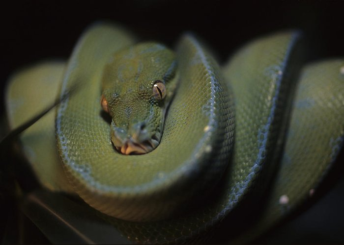 District Of Columbia Greeting Card featuring the photograph An Immature Green Tree Python Curled by Taylor S. Kennedy