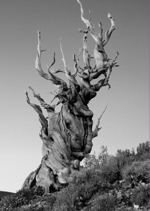 California Greeting Card featuring the photograph Ancient Bristlecone Pine by Daniel Ryan