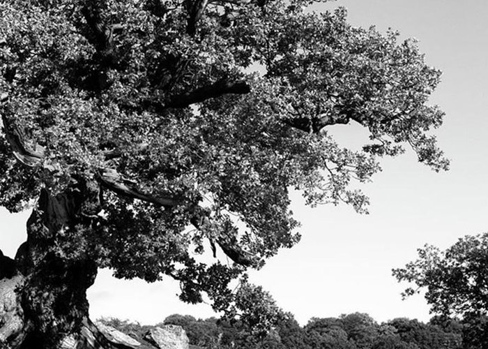 Woodland Greeting Card featuring the photograph Ancient Oak, Bradgate Park by John Edwards