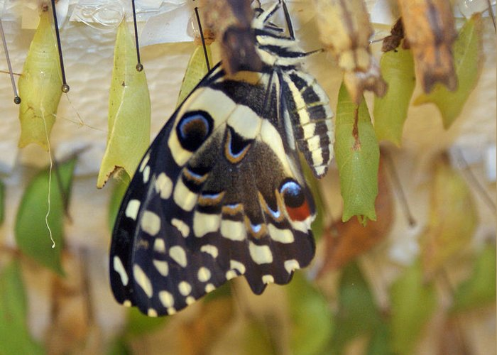 Butterfly Greeting Card featuring the photograph And Life Begins by Shelley Jones