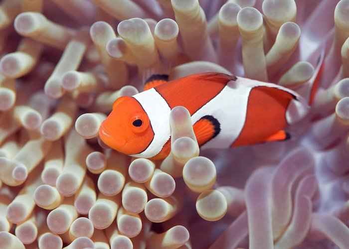 Clown-fish Greeting Card featuring the photograph Anemone And Clown-fish by MotHaiBaPhoto Prints