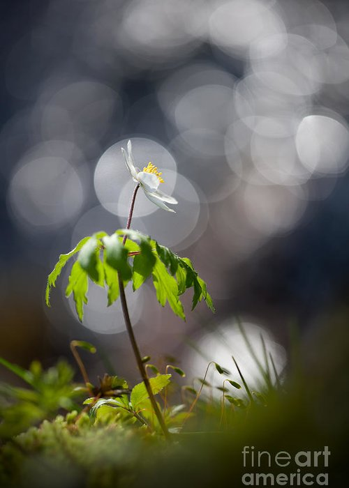 Light Greeting Card featuring the photograph Anemone by Rikard Strand