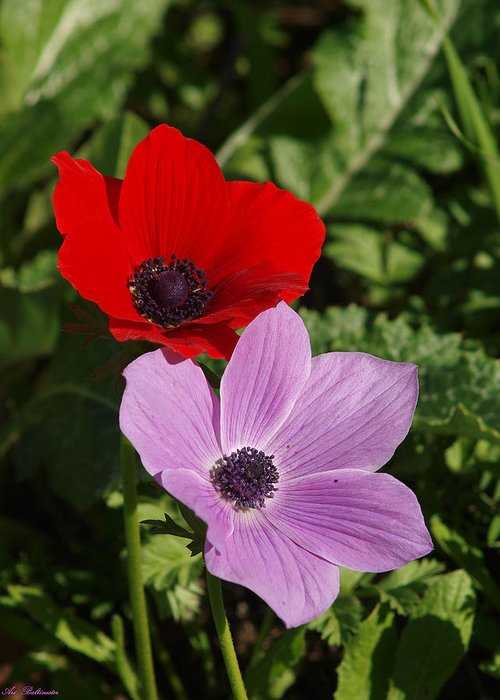 Anemones Greeting Card featuring the photograph Anemones 2 by Arik Baltinester