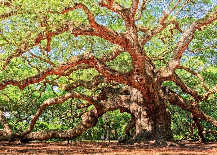 Ancient Greeting Card featuring the photograph Angel Oak - Charleston Sc by Drew Castelhano