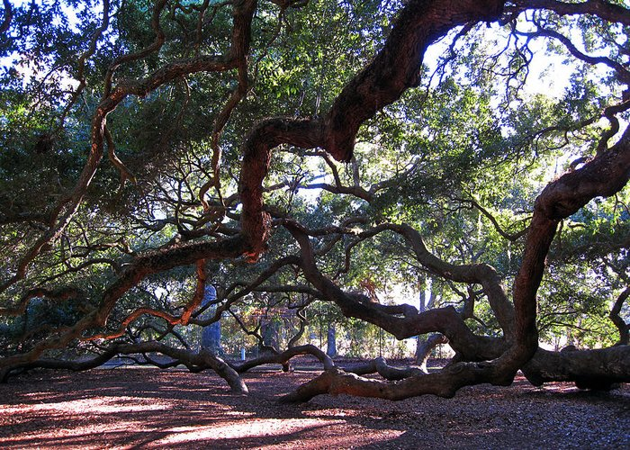 Photography Greeting Card featuring the photograph Angel Oak Side View by Susanne Van Hulst