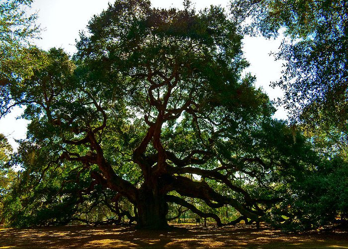 Tree Greeting Card featuring the photograph Angel Oak Tree 2004 by Louis Dallara