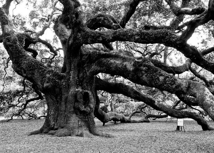 Nature Greeting Card featuring the photograph Angel Oak Tree 2009 Black And White by Louis Dallara