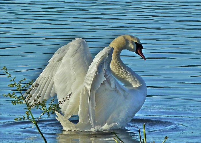 Swan Greeting Card featuring the photograph Angel Wings by Diana Hatcher