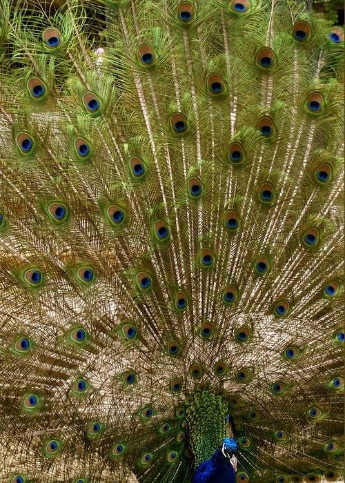 Zoo Greeting Card featuring the photograph Angry Peacock by Sonja Anderson