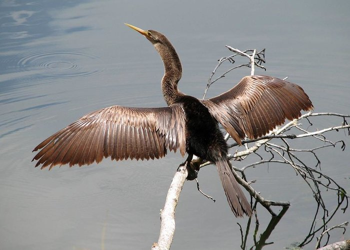 Anhinga Greeting Card featuring the photograph Anhinga by J M Farris Photography