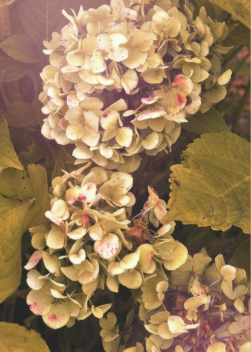 Hydrangea Greeting Card featuring the photograph Annabelle by JAMART Photography