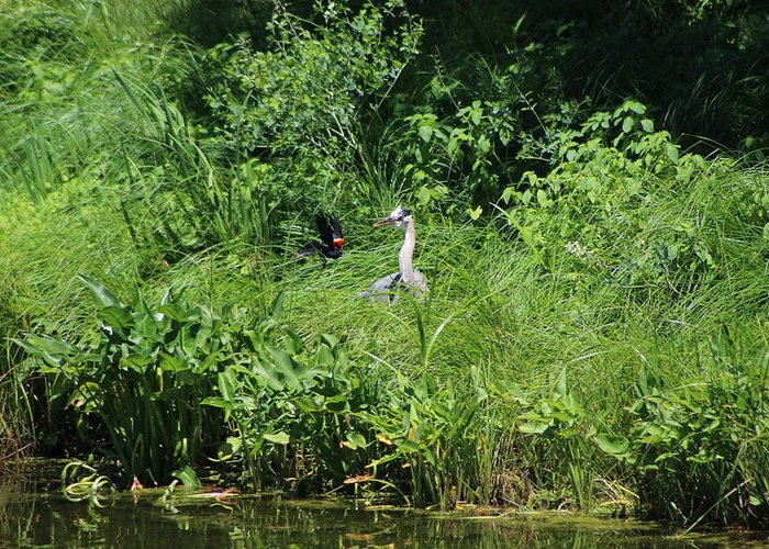 Marsh Greeting Card featuring the photograph Annoyed - Heron and Red Winged Blackbird 5 of 10 by Colleen Cornelius