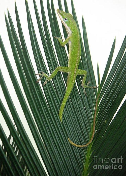 Nature Greeting Card featuring the photograph Anole With Palm - Cautious by Lucyna A M Green