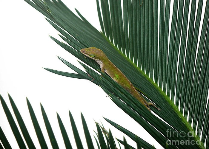 Nature Greeting Card featuring the photograph Anole With Palm - Coy by Lucyna A M Green