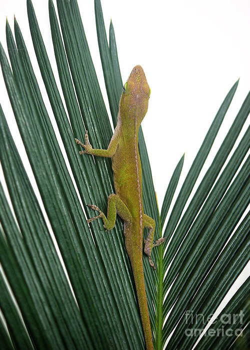 Nature Greeting Card featuring the photograph Anole With Palm - Curious by Lucyna A M Green