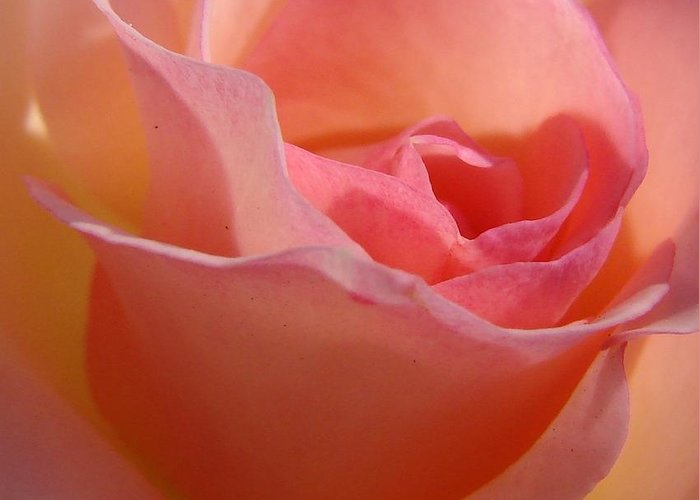 Rose Greeting Card featuring the photograph Another Pink Rose by Liz Vernand