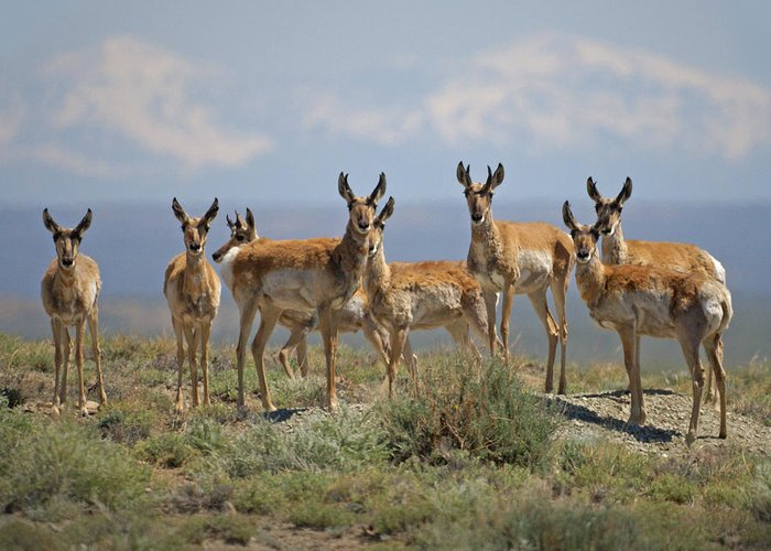 Antelope Greeting Card featuring the photograph Antelope by Heather Coen