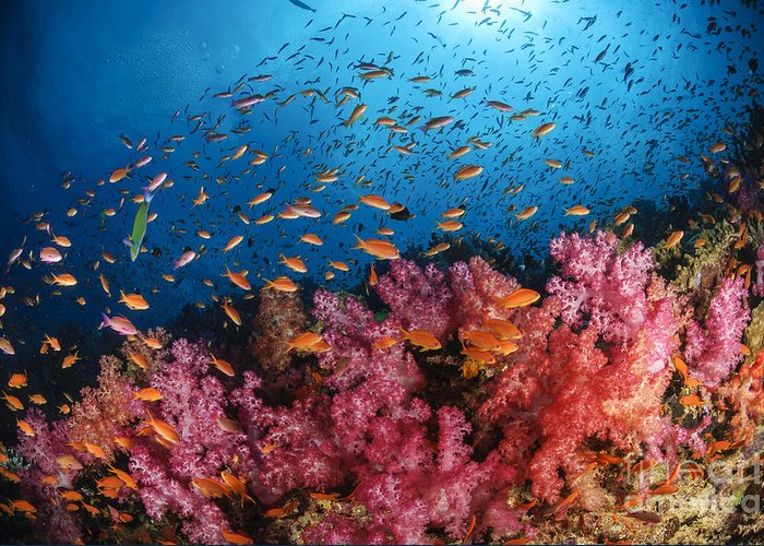 Animals In The Wild Greeting Card featuring the photograph Anthias Fish And Soft Corals, Fiji by Todd Winner