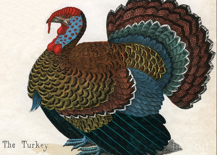 Meleagris Gallopavo Drawings Greeting Cards