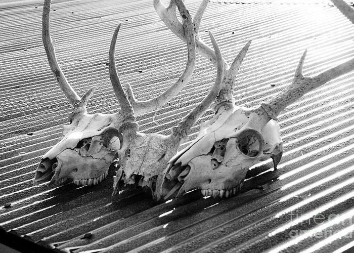 Black & White Greeting Card featuring the photograph Antlers On Tin Roof by Thomas R Fletcher