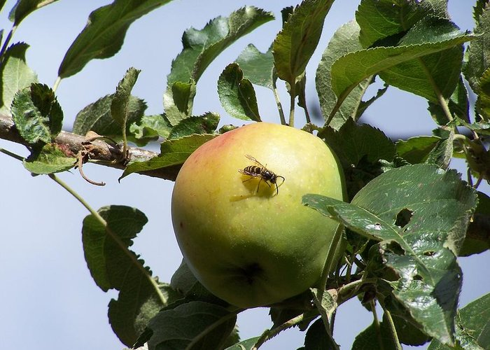 Apple Greeting Card featuring the photograph Apple Bee by Gene Ritchhart